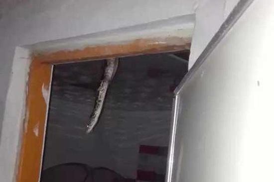 天花板上掉下来的大蟒蛇。南都记者李立君摄 天花板上掉下来的大蟒蛇。南都记者李立君摄   南都讯 记者李立君 我就纳闷了,家里完全是封闭的,它是怎么进来的?今天上午,惠城区水口街道居民李先生卧室的天花板还没有修补,多处因为破碎出现漏洞。前天晚上7点30左右,他老婆站在卧室门口,突然一块天花板破碎脱落,正在纳闷之时,一条大蟒蛇掉下来一截尾巴。   今天上午,南都记者在李先生家里看到,那间卧室布置得很卡通,显然是小孩子玩耍和休息的房间,这间房间天花板多处破碎,这是那条蛇搞得,吓死人了,李先生介绍称,前天晚