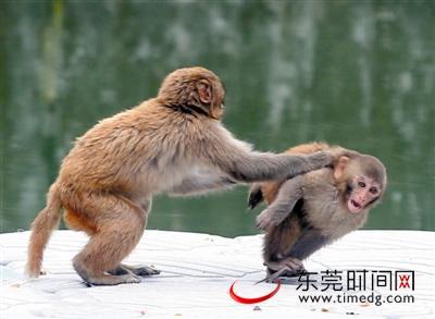 香市动物园里,猴子们正在玩耍