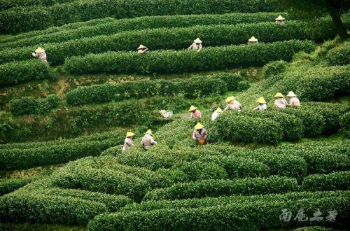 西湖龙井采茶舞曲如约开唱图片