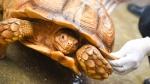 世界第三大陆龟来广州啦!有点野性又有点呆萌 - 广东电视网