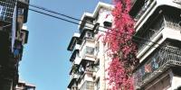 """从街口望去,绯红色的簕杜鹃""""瀑布""""。 - 新浪广东"""