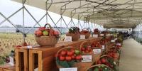 风味番茄不耐存?专家教你阳台种番茄 - 广东大洋网