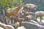 7只金毛羚牛宝宝在广州诞生,珍贵程度堪比大熊猫 - 广东大洋网