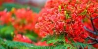 广州祈福新村的凤凰木花开正艳。 程景伟 摄 - 新浪广东